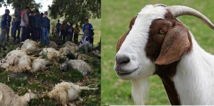 उत्तराखंड: दुगड्डा ब्लॉक के गांव में कई बकरियों की अज्ञात कारणों से मौत,पशुपालकों में मचा हड़कंप