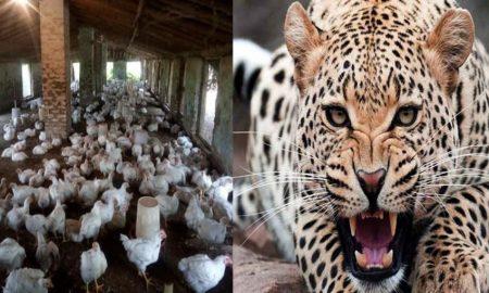 पिथौरागढ़: देर रात पोल्ट्री फार्म में घुस गया गुलदार, 1500 से अधिक मुर्गियों को मार डाला